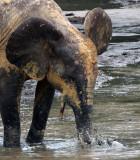ELEPHANT - FOREST ELEPHANT - DZANGA BAI - DZANGA NDOKI NP CENTRAL AFRICAN REPUBLIC (92).JPG