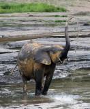 ELEPHANT - FOREST ELEPHANT - DZANGA BAI - DZANGA NDOKI NP CENTRAL AFRICAN REPUBLIC (98).JPG