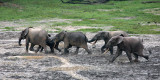 ELEPHANT - FOREST ELEPHANT - DZANGHA BAI - DZANGHA NDOKI NP - CENTRAL AFRICAN REPUBLIC (110).JPG