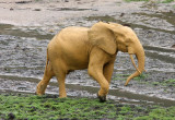 ELEPHANT - FOREST ELEPHANT - DZANGHA BAI - DZANGHA NDOKI NP - CENTRAL AFRICAN REPUBLIC (148).JPG