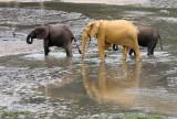 ELEPHANT - FOREST ELEPHANT - DZANGHA BAI - DZANGHA NDOKI NP - CENTRAL AFRICAN REPUBLIC (154).JPG