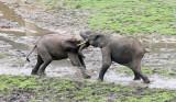ELEPHANT - FOREST ELEPHANT - DZANGHA BAI - DZANGHA NDOKI NP - CENTRAL AFRICAN REPUBLIC (159).JPG