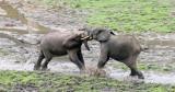 ELEPHANT - FOREST ELEPHANT - DZANGHA BAI - DZANGHA NDOKI NP - CENTRAL AFRICAN REPUBLIC (160).JPG