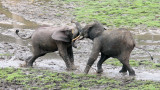 ELEPHANT - FOREST ELEPHANT - DZANGHA BAI - DZANGHA NDOKI NP - CENTRAL AFRICAN REPUBLIC (161).JPG
