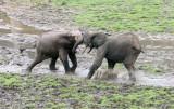 ELEPHANT - FOREST ELEPHANT - DZANGHA BAI - DZANGHA NDOKI NP - CENTRAL AFRICAN REPUBLIC (162).JPG