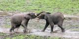 ELEPHANT - FOREST ELEPHANT - DZANGHA BAI - DZANGHA NDOKI NP - CENTRAL AFRICAN REPUBLIC (167).JPG