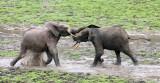 ELEPHANT - FOREST ELEPHANT - DZANGHA BAI - DZANGHA NDOKI NP - CENTRAL AFRICAN REPUBLIC (168).JPG