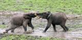 ELEPHANT - FOREST ELEPHANT - DZANGHA BAI - DZANGHA NDOKI NP - CENTRAL AFRICAN REPUBLIC (169).JPG