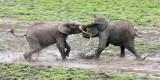 ELEPHANT - FOREST ELEPHANT - DZANGHA BAI - DZANGHA NDOKI NP - CENTRAL AFRICAN REPUBLIC (171).JPG