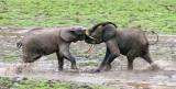 ELEPHANT - FOREST ELEPHANT - DZANGHA BAI - DZANGHA NDOKI NP - CENTRAL AFRICAN REPUBLIC (172).JPG