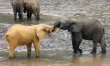 ELEPHANT - FOREST ELEPHANT - DZANGHA BAI - DZANGHA NDOKI NP - CENTRAL AFRICAN REPUBLIC (175).JPG