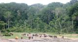 ELEPHANT - FOREST ELEPHANT - DZANGHA BAI - DZANGHA NDOKI NP - CENTRAL AFRICAN REPUBLIC (178).JPG