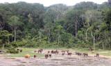 ELEPHANT - FOREST ELEPHANT - DZANGHA BAI - DZANGHA NDOKI NP - CENTRAL AFRICAN REPUBLIC (180).JPG