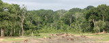 ELEPHANT - FOREST ELEPHANT - DZANGHA BAI - DZANGHA NDOKI NP - CENTRAL AFRICAN REPUBLIC (183).JPG