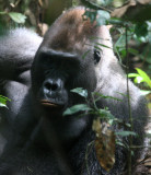 PRIMATE - GORILLA - WESTERN LOWLAND GORILLA - DZANGA NDOKI NATIONAL PARK CENTRAL AFRICAN REPUBLIC (15).JPG