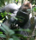 PRIMATE - GORILLA - WESTERN LOWLAND GORILLA - DZANGA NDOKI NATIONAL PARK CENTRAL AFRICAN REPUBLIC (38).JPG