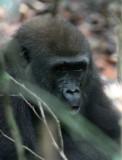 PRIMATE - GORILLA - WESTERN LOWLAND GORILLA - DZANGA NDOKI NATIONAL PARK CENTRAL AFRICAN REPUBLIC (44).JPG