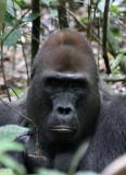 PRIMATE - GORILLA - WESTERN LOWLAND GORILLA - DZANGHA NDOKI NATIONAL PARK - CENTRAL AFRICAN REPUBLIC (34).JPG