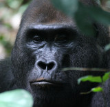 Lowland Gorillas of Dzanga-Ndoki National Park