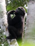 PRIMATE - GORILLA - WESTERN LOWLAND GORILLA - DZANGHA NDOKI NATIONAL PARK - CENTRAL AFRICAN REPUBLIC (88).JPG