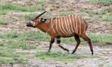 BOVID - BONGO - DZANGA BAI DZANGA NDOKI NATIONAL PARK CENTRAL AFRICAN REPUBLIC (19).JPG