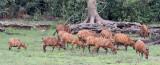 BOVID - BONGO - DZANGA BAI DZANGA NDOKI NATIONAL PARK CENTRAL AFRICAN REPUBLIC (39).JPG