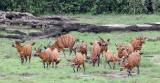 BOVID - BONGO - DZANGA BAI DZANGA NDOKI NATIONAL PARK CENTRAL AFRICAN REPUBLIC (42).JPG