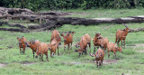 BOVID - BONGO - DZANGA BAI DZANGA NDOKI NATIONAL PARK CENTRAL AFRICAN REPUBLIC (44).JPG