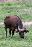 BOVID - BUFFALO - FOREST BUFFALO - DZANGA BAI - DZANGA NDOKI NATIONAL PARK CENTRAL AFRICAN REPUBLIC (17).JPG