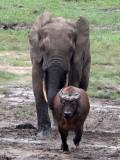 BOVID - BUFFALO - FOREST BUFFALO - DZANGA BAI - DZANGA NDOKI NATIONAL PARK CENTRAL AFRICAN REPUBLIC (22).JPG