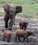 BOVID - BUFFALO - FOREST BUFFALO - DZANGA BAI - DZANGA NDOKI NATIONAL PARK CENTRAL AFRICAN REPUBLIC (23).JPG