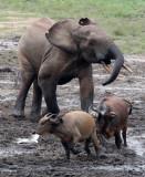 BOVID - BUFFALO - FOREST BUFFALO - DZANGA BAI - DZANGA NDOKI NATIONAL PARK CENTRAL AFRICAN REPUBLIC (25).JPG
