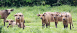 BOVID - BUFFALO - FOREST BUFFALO - DZANGHA NDOKI NATIONAL PARK - CENTRAL AFRICAN REPUBLIC (34).JPG