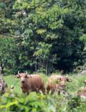 BOVID - BUFFALO - FOREST BUFFALO - DZANGHA NDOKI NATIONAL PARK - CENTRAL AFRICAN REPUBLIC (5).JPG