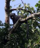 PRIMATE - PUTTY-NOSED MONKEY - DZANGA BAI DZANGA NDOKI NATIONAL PARK CENTRAL AFRICAN REPUBLIC (5).JPG