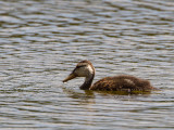 Mottled Duck / Gevlekte Florida-eend / Anas fulvigula