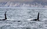 Orcas 1
