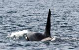 Orcas 7