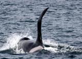 Orcas 8