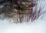 dogwood shrubs.JPG
