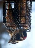 hungry woodpecker.JPG