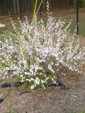 pink flowering almond.jpg
