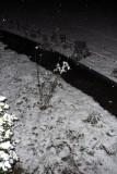 snowy rosebush 9pm.jpg