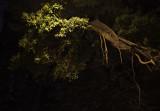 the banyan...