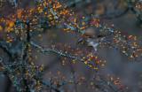 Bruntrast - Dusky Trush (Turdus eunomus)