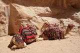 Camels Snuggle