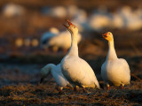 Wake Up, It's Morning! Greater Snow Geese