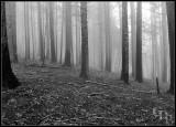 foggy_trees01_9169.jpg