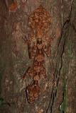 Northern Leaf Tailed Gecko - Saltuarius cornutus