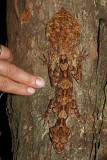 Northern Leaf Tailed Gecko - a Sense of Scale
